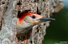 Red Bellied WoodPecker and 600mm