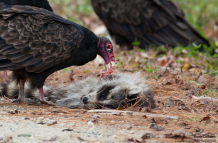 Vulture Dines on Racoon