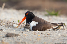 Oystercatcher, Chick,