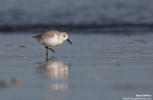 Beach Attack!  Sanderlings!