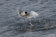 Bird Olympics:  Diving Terns
