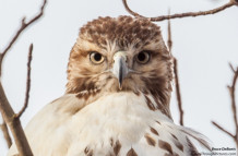 Hawk With An Attitude