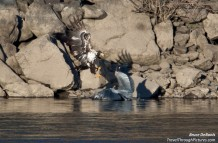 Food Fight!!! Eagle vs. Blue heron