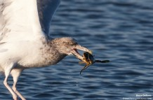 Gull vs Crab – First 500mm Lens Shots