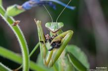 Mantis Versus Bee!