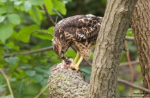 Hawk Eating Squirrel